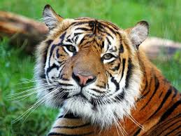 biodiversity sumatran tiger Sumatran tigers (scientific name: panthera tigris sumatrae) are found only in the remaining patches of forests on the island of sumatra, indonesia as late as 1978, experts estimated the.